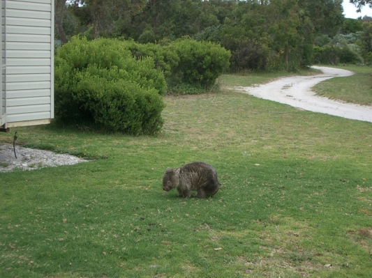 Young wombat on the lawn