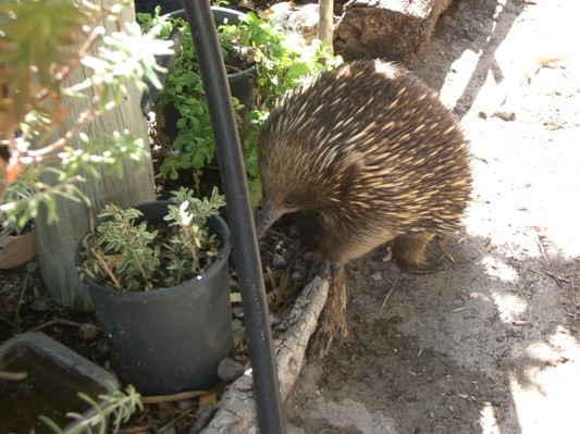 Echidna checking out the garden